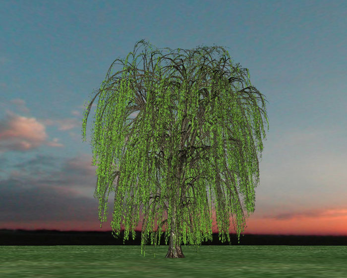 new willow trees willow bark willow wood x section willow tree curly ...