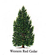 Cedar Tree Bild Western Red Cedar