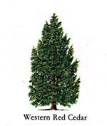 シダーの木、写真Western Red Cedar