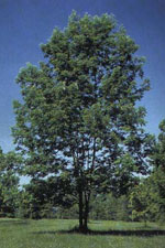 White Ash, Image of White Ash Tree