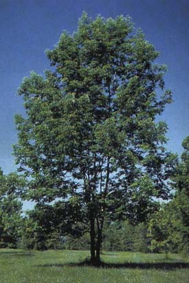 Ash Tree Pictures Images Facts On Ash Trees