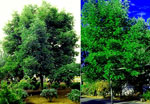 White Ash, Picture of White Ash Trees