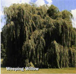 Willow Trees: Weeping Arbre de type Image
