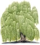 söğüt ağacı resmi