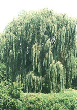 Willow puno larawan; Umiiyak Type Willow Tree