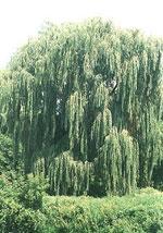 imagem da árvore de salgueiro; Weeping Willow Tree Tipo