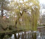صور شجرة الصفصاف